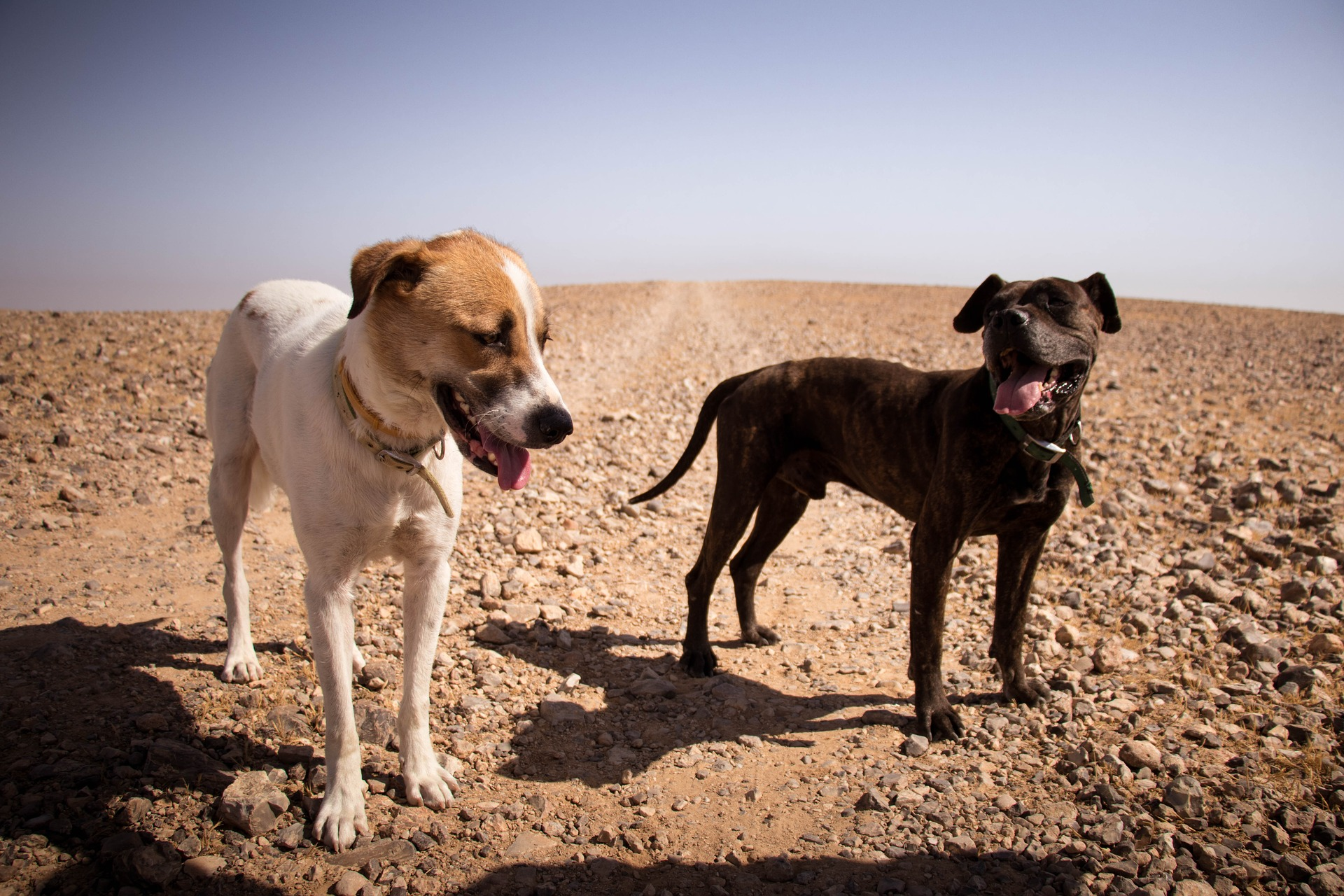 Two dogs panting in desert
