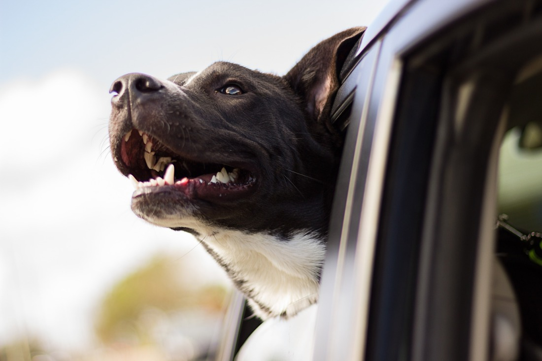Dog sticking head out of car window